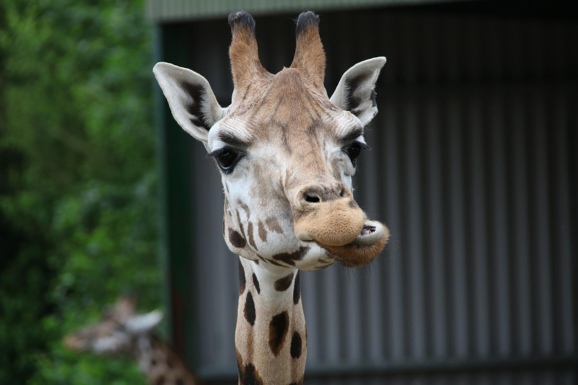 Pour un ventre plat et perdre du poids mâcher bien chaque bouchée comme le fait la girafe
